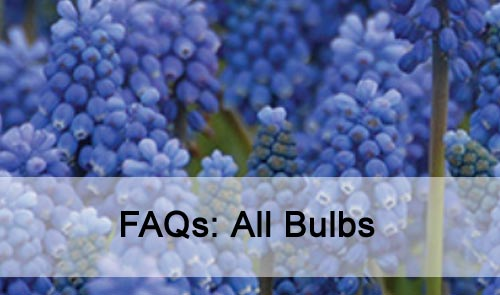 FAQs: All Bulbs