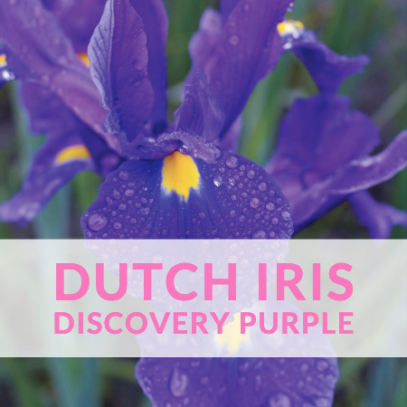 Dutch Iris Discovery Purple