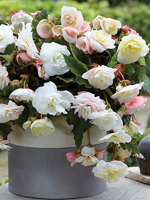 Fragrant Begonias