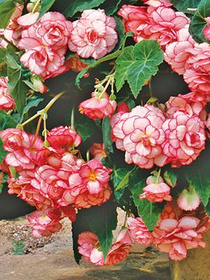 European Begonias