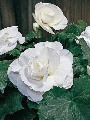 Roseform Begonias