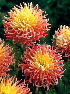 Cactus Dahlias