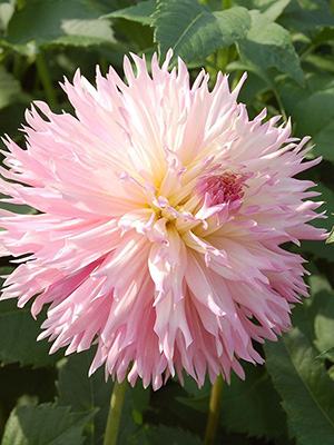 Fimbriated Dahlias