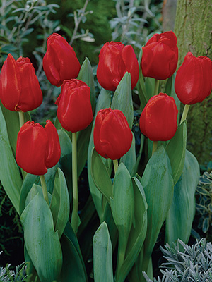 Best Deal Tulips