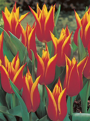 Lily Tulips