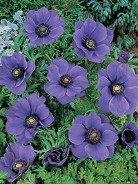 Anemone Blue Poppy - 25 Bulbs