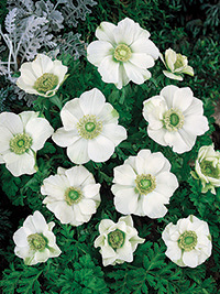 Anemone The Bride - 25 Bulbs