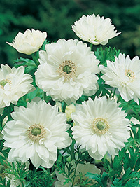 Anemone Mount Everest - 25 Bulbs