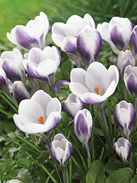 Crocus Prins Claus - 10 Bulbs