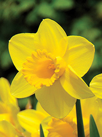 Daffodil Carlton - Super Deal - 10 Bulbs