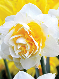 Daffodil Double Star - 50 Bulbs