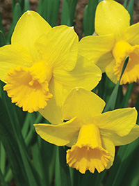 Daffodil Gold Convention - 5 Bulbs