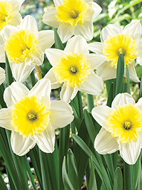 Daffodil Ice Follies - 5 Bulbs