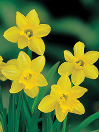 Daffodil Little Gem - 5 Bulbs