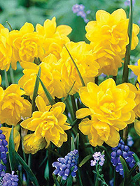 Daffodil Pencrebar - 5 Bulbs