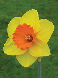 Daffodil So Big - 5 Bulbs