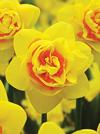 Daffodil Tahiti - Super Deal - 10 Bulbs