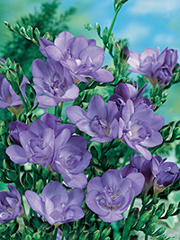 Freesia Blue Bayou - 10 Bulbs