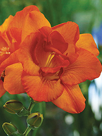 Freesia Clementine - 10 Bulbs