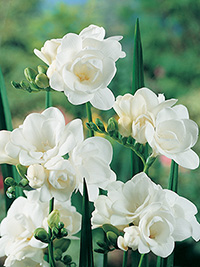 Freesia Oregon - 10 Bulbs