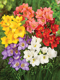 Freesia Mixture - 25 Bulbs