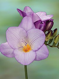 Freesia Skyfall - 10 Bulbs