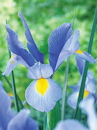 Dutch Iris Discovery Sky - 10 Bulbs