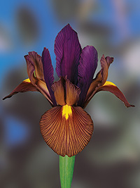 Dutch Iris Tigers Eye - 10 Bulbs