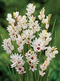 Ixia Giant - 5 Bulbs