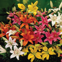 Asiatic Lily Mixed - 5 Bulb
