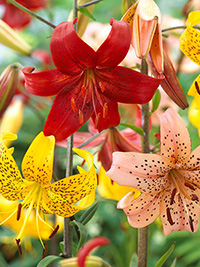 Tiger Lily Mixed - 5 Bulbs