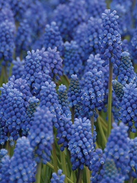 Muscari Blue Magic - 10 Bulbs