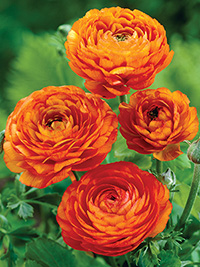 Ranunculus Orange - 25 Bulbs