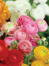 Ranunculus Mixed - 25 Bulbs