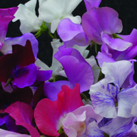 Sweet Pea Equinox Mix - 1 Pack
