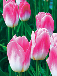 Tulip Dynasty - 5 Bulbs