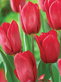 Tulip First Love - 5 Bulbs