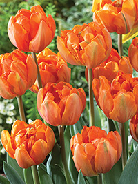 Tulip Orange Princess - 5 Bulbs