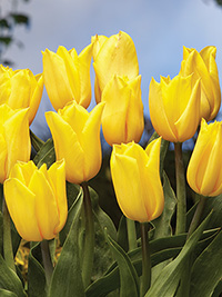 Tulip Strong Gold - 5 Bulbs