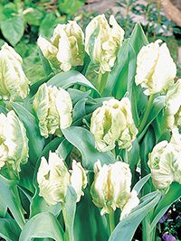 Tulip Super Parrot - 5 Bulbs