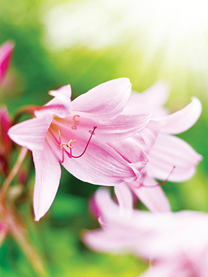 Amaryllis Belladonna Pink - Sorry, Sold Out