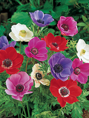 anemone de caen mix nz bulbs. Black Bedroom Furniture Sets. Home Design Ideas