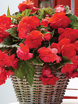 Begonia Scented Red Sunset