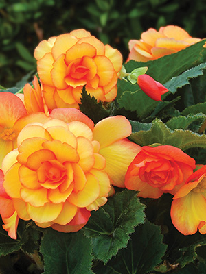 Begonia On Top Sun Glow - PACK OF 1