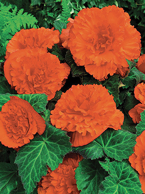 Begonia Ruffled Orange