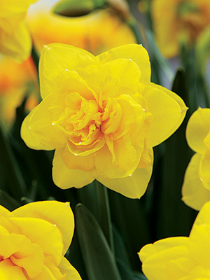 Daffodil Double Power