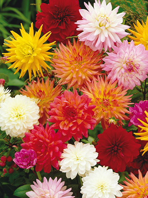 Dahlia Offsets Mixed - PACK OF 10
