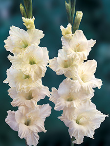 Gladiolus Cream Perfection
