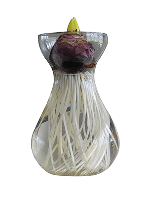 Hyacinth Glass