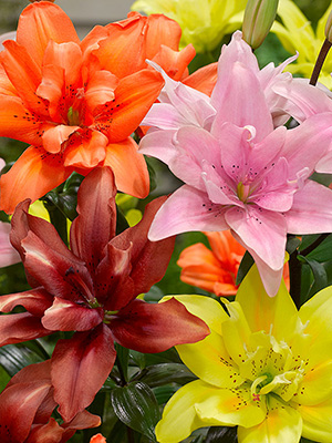 Double Asiatic Lily Mix